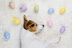 Easter eggs with funny puppy in white rug. Cute puppy dog lying back on white rug with Easter painted eggs. Happy Easter Eggs Hunt concept greeting card, above royalty free stock image