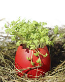 Easter eggs with garden cress Stock Images