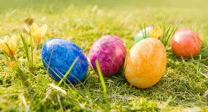 Easter eggs in grass. Colorful easter eggs in fresh green moss and grass of a meadow in the sunlight. Some young narcissus grow next to the eggs. Small depth of royalty free stock photos