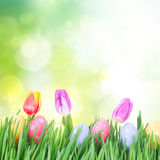 Easter eggs in grass. With tulips, copy space on green garden background Stock Image