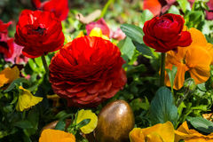 Easter eggs hidden in a flowerbed. Golden easter eggs hidden in a colorful flower bed surrounded by yellow pansies and red ranunculus flowers Royalty Free Stock Photography