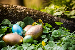 Easter eggs hidden in the forrest. Colorful easter eggs hidden in the forest behind a tree root surrrounded by buttercups Stock Images
