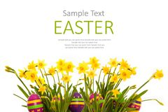Easter eggs hiding in the grass with daffodil. Horizontal banner. Isolated on white background Stock Image