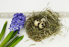 Easter eggs and hyacinth flowers on white background. Quail eggs and hyacinth flowers on white background Stock Images
