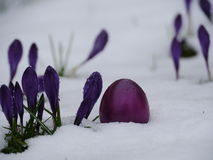 Easter eggs laying snow flowers Royalty Free Stock Photo