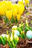 Easter eggs, mini daffodils, crocuses Stock Image