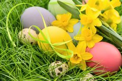 Easter eggs and narcissus flowers in green grass Royalty Free Stock Image
