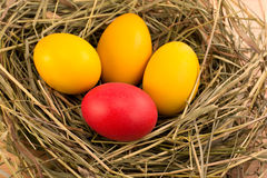 Easter eggs in the nest. Four multi-colored Easter eggs in a nest with hay Royalty Free Stock Photography