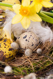 Easter eggs in the nest with narcissus Royalty Free Stock Photography
