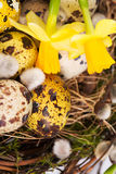 Easter eggs in the nest with narcissus Stock Image
