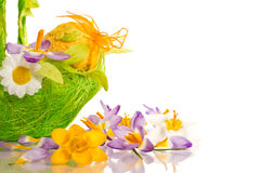 Easter eggs with  crocuses Royalty Free Stock Photo