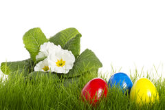 Easter eggs with a white primula Royalty Free Stock Images