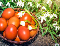 Easter eggs in a wicker basket and snowdrops. Stock Photo