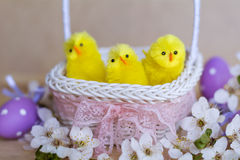 Easter eggs and yellow easter chickens in basket Stock Photos
