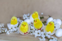 Easter eggs and yellow easter chickens in eggshells Royalty Free Stock Photography