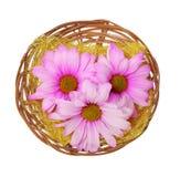 easter floresce na cesta isolada, camomilas do rosa quente fotografia de stock