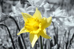 Daffodil Yellow (Easter Flower) Against Black and White Stock Photos