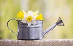 Easter flower in watering can Stock Photos