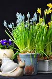 Easter flowers and a snail. Easter flowers daffodills muscari and snail on black Stock Photography
