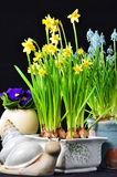 Easter flowers daffodils and snail. Easter flowers daffodils muscari and snail on black royalty free stock photo