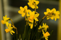 Easter flowers lily daffodil. Easter lily daffodil flowers with blurry background Stock Photos