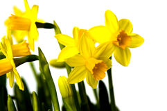 Easter flowers lily daffodil Royalty Free Stock Photography