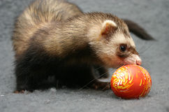 Easter game. Ferret playing with easter egg Royalty Free Stock Photo