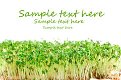 Easter garden cress Royalty Free Stock Image