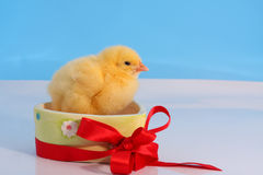 Easter gift. One day old chicken in ceramic heart-shaped gift box with red ribbon Stock Images
