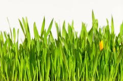 Easter grass Royalty Free Stock Images