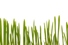 Easter grass, cat grass Royalty Free Stock Photos