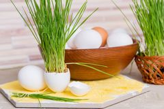 Easter grass growing in egg shell, shallow focus, Yellow background, white eggs in a basket on a wooden background. Easter grass growing in egg shell, shallow Royalty Free Stock Image