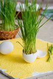 Easter grass growing in egg shell, shallow focus, Yellow background, white eggs in a basket on a wooden background. Easter grass growing in egg shell, shallow Royalty Free Stock Photography