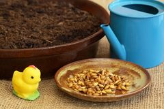 For Easter green crop  get ready soil and seeds Stock Image