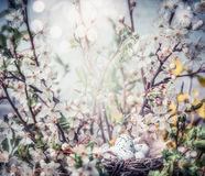 Easter greeting card with bird nest and eggs on branch of cherry blossom Royalty Free Stock Photo