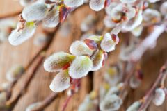Easter greeting card with willow bunch over wooden backgro. Und royalty free stock images