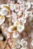 Easter greeting card with willow bunch over wooden backgro. Und royalty free stock photos