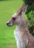 Easter grey kangaroo Stock Images