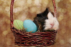 Easter Guinea pig in a basket Royalty Free Stock Photo