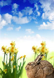 Easter hare and daffodils. And blue sky Royalty Free Stock Photography
