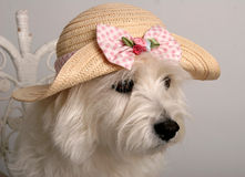 Easter hat. West Highland Terrier wearing a fancy straw hat Royalty Free Stock Photography
