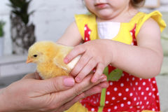 Easter Holiday. Little girl takes on the handle of a yellow chicken Royalty Free Stock Images