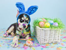 Easter Husky Puppy Royalty Free Stock Photography
