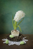 Easter hyacinth Stock Image