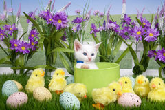 Easter Kitten in Flower Garden with chicks. One fluffy white kitten laying in a green planter bowl up away from fuzzy yellow chicks and easter eggs in green Royalty Free Stock Photo