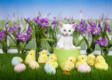 Easter Kitten in Flower Garden with chicks. One fluffy white kitten standing in a green planter bowl up away from fuzzy yellow chicks and easter eggs in green Royalty Free Stock Images
