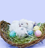 Easter Kittens. Two of 5 litter mates arrived into the world just in time for an Easter portrait Royalty Free Stock Photo