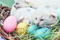 Easter Kittens closeup. Three white littermates arrive in the world just in time for an Easter family portrait Royalty Free Stock Image