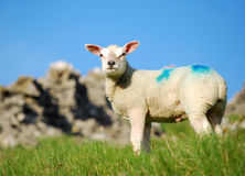 Easter lamb Royalty Free Stock Photography