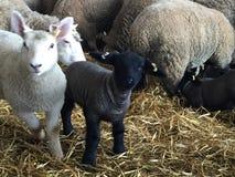 Easter lambing Stock Image